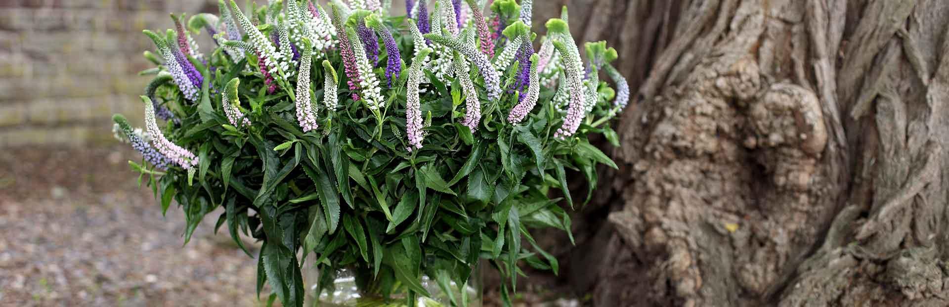 Veronica Smart Series Abyssinia Flowers